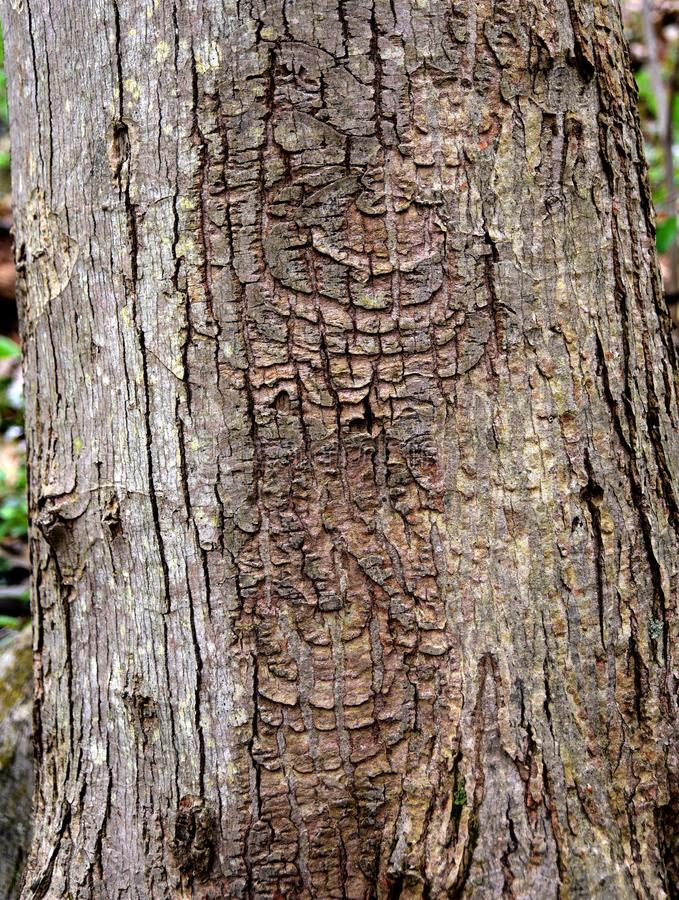 Distinctive pattern of a perennial target canker on a red maple tree trunk. Distinctive pattern of a perennial target canker on a red maple, Acer rubrum, tree stock photos