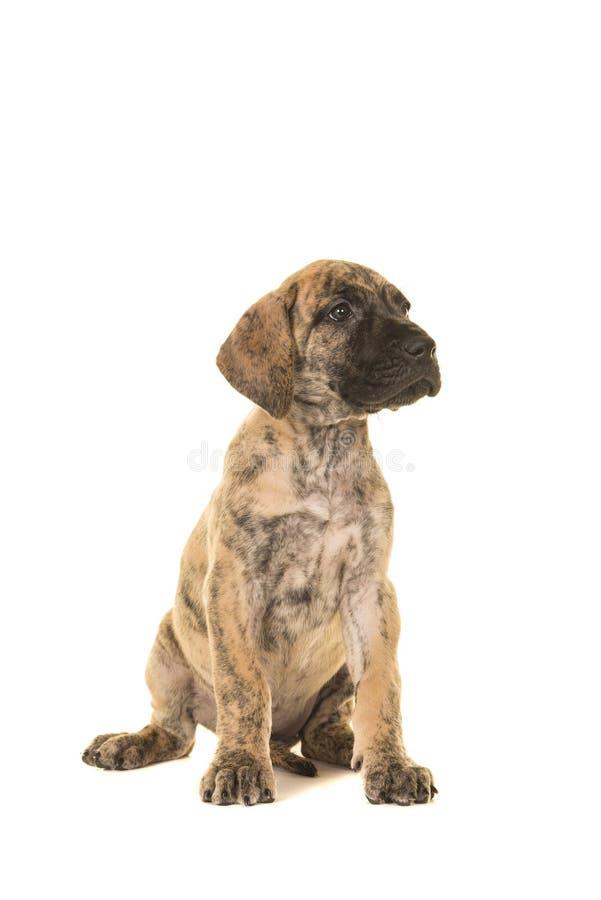 Distogliere lo sguardo di seduta del cucciolo di great dane isolato su un backgr bianco fotografie stock libere da diritti