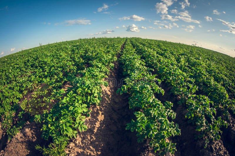 Distorsión del fisheye del día soleado del campo del verde de la patata foto de archivo