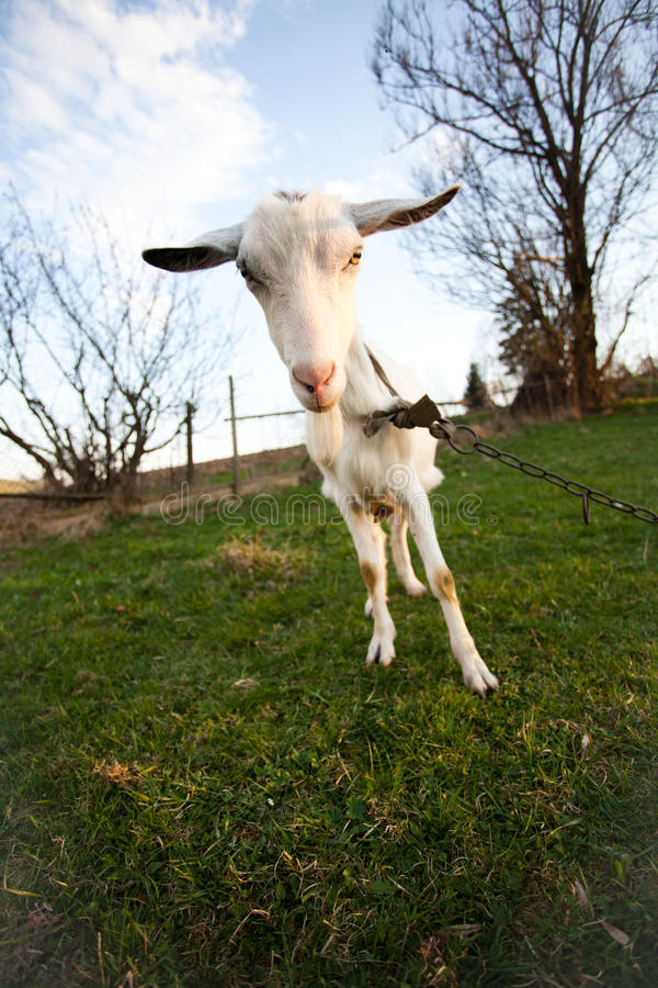 Download Distorted goat stock photo. Image of curious, beard, muzzle - 22913696