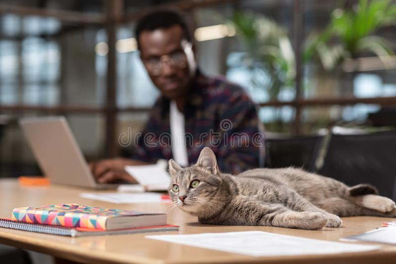 Grey cat sitting on a computer table. Distracting factor. A grey cat sitting on a computer table stock images