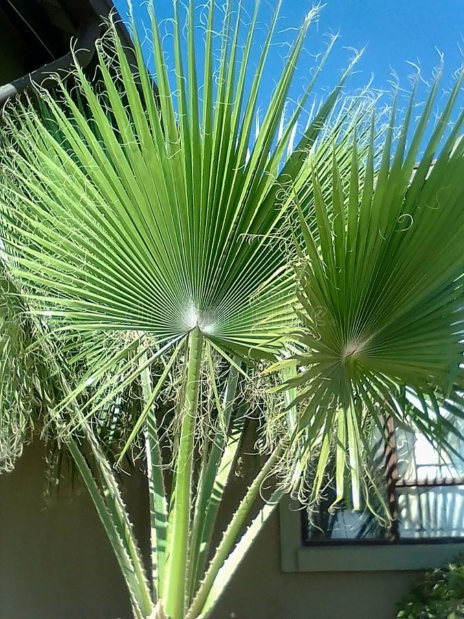Distressed fan palm tree royalty free stock photo