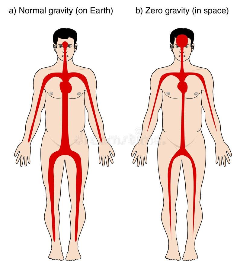 Distribución de la sangre debido a la gravedad ilustración del vector