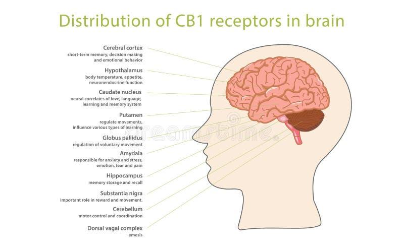 Distribution of CB1 receptors in brain vector illustration