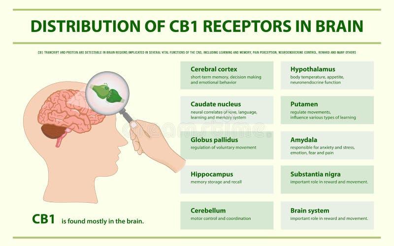 Distribution of CB1 Receptors in Brain horizontal infographic vector illustration