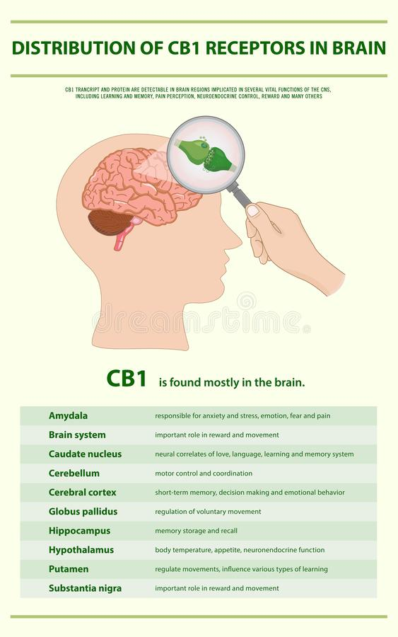 Distribution of CB1 Receptors in Brain vertical infographic. Illustration about cannabis as herbal alternative medicine and chemical therapy, healthcare and royalty free illustration