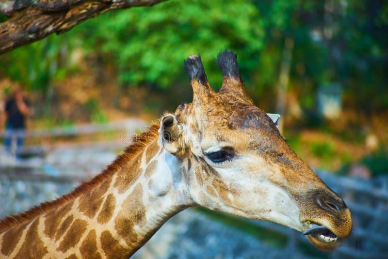 Dit beeld is over Thaise giraf, Bangkok Thailand stock foto's