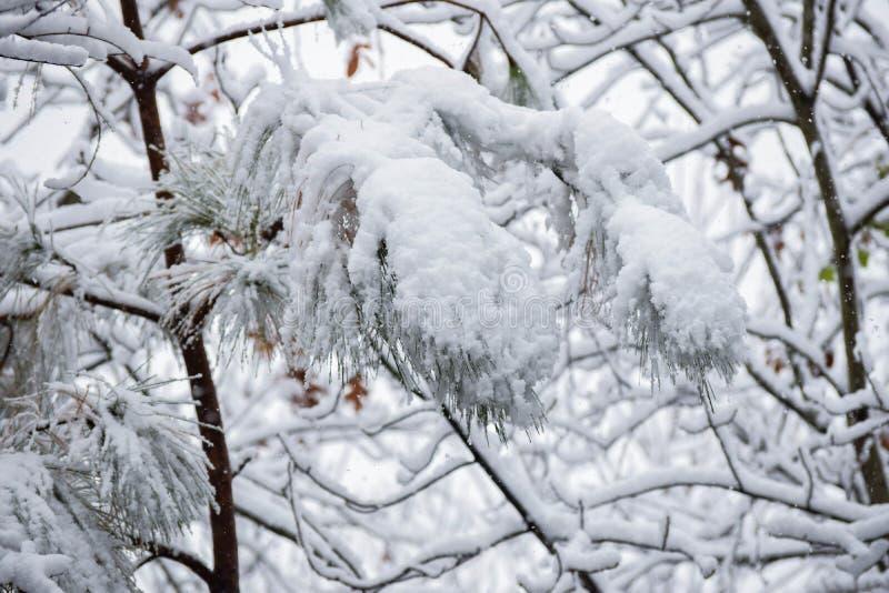 Dit is een Beeld van een Tak van de Pijnboomboom in Sneeuw wordt behandeld die royalty-vrije stock fotografie