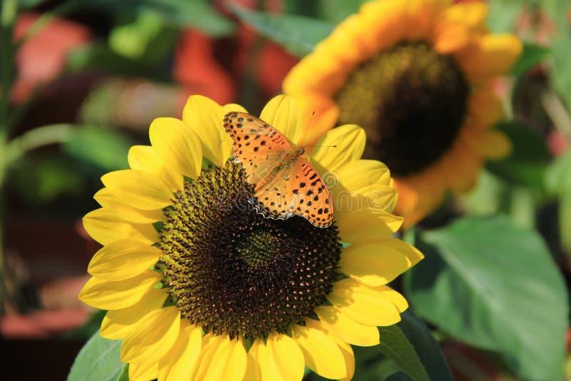 Dit is een vlinder die over een zonnebloem vliegen stock afbeelding