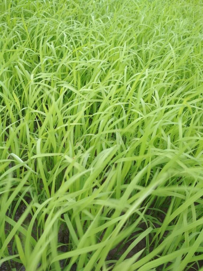 Dit is rijst in India stock afbeelding