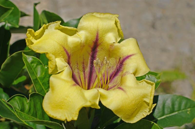 Dit is Solandra-maxima, de Kop van Gouden Wijnstok, van de familie Solanaceae stock afbeeldingen