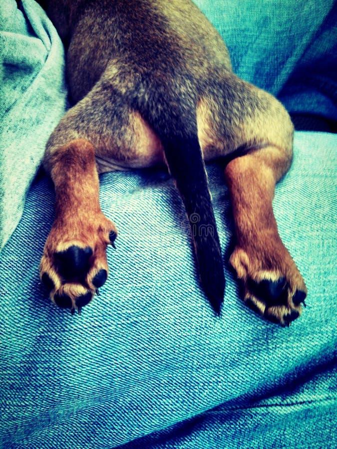 Dita del piede del cucciolo immagini stock