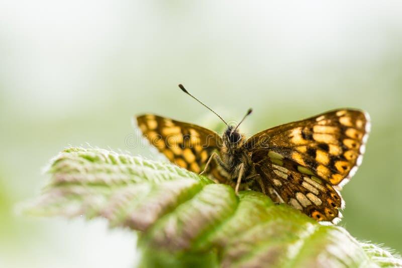 Diuk Burgundy fritillary motyl (Hamearis lucina) obraz royalty free