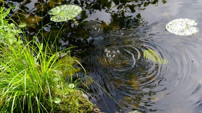 Divórcios na água no lago de uma rã pequena em um dia de verão imagens de stock royalty free