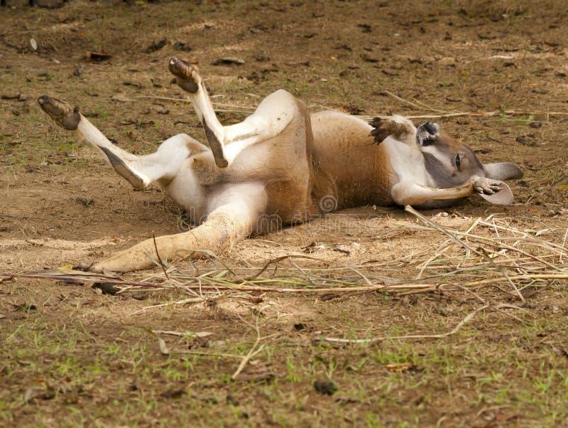 Diva del canguro fotografie stock