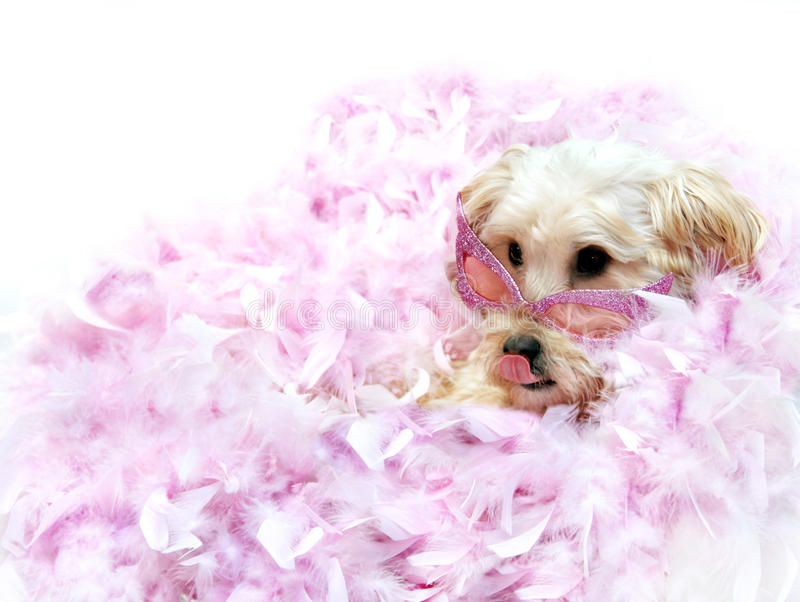 Diva Dog. Silkypoo is lounging on a bed of pink boa feathers and wearing her favorite horn-rimmed sunglasses in pink. She is licking her lips waiting to be royalty free stock photos