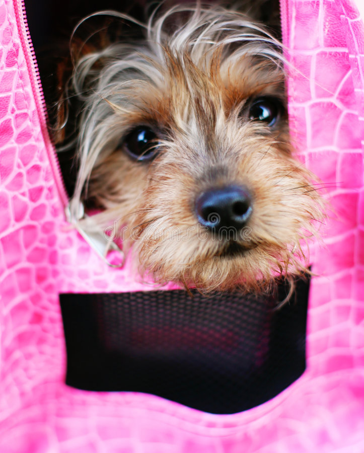 Diva Dog in Hot Pink. Yorkie peeking through a pink carrier royalty free stock photography