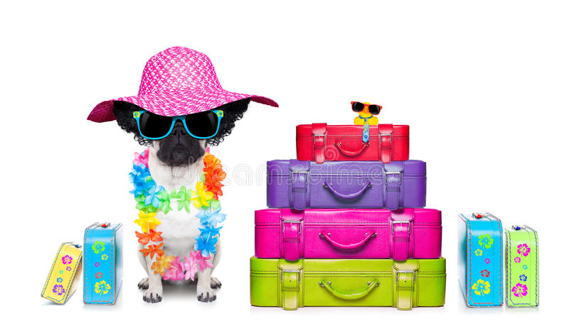 Diva dog vacation. Diva pug dog with stack of luggage for the summer vacation ready for holidays stock image