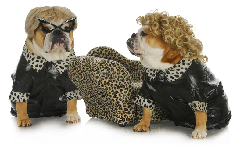 Diva dogs. Two female english bulldogs wearing blonde wigs dressed up in black leather coats stock photo