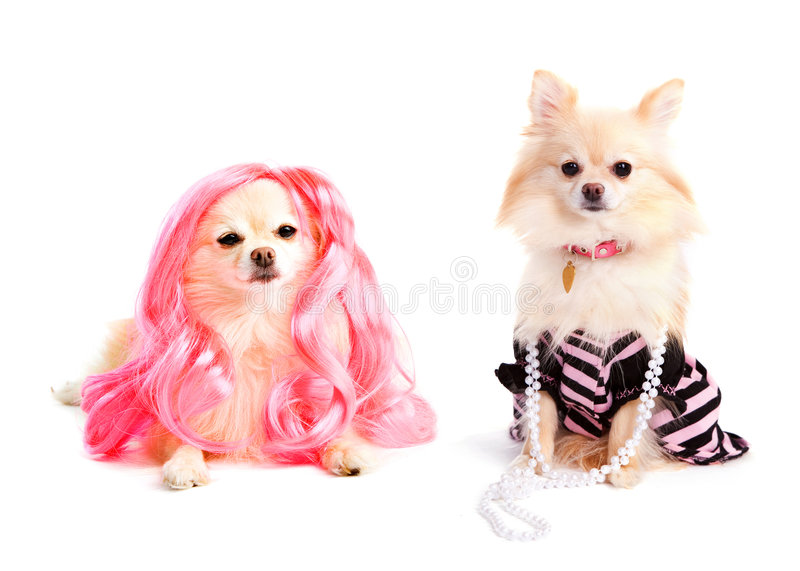 Diva Dogs. Two adorable Pomeranian pups all decked out as divas. Isolated on white royalty free stock images