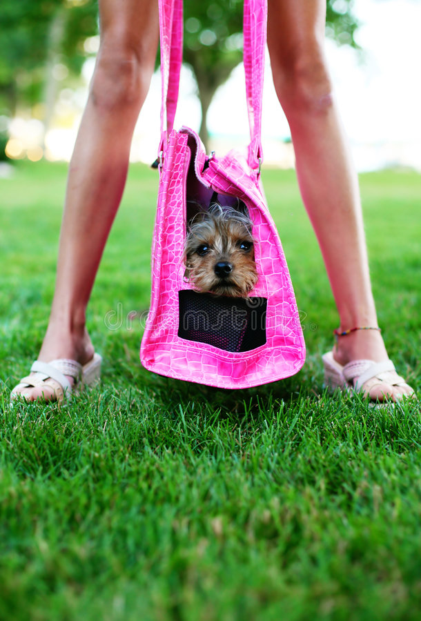 Diva and pet diva dog. Comical photo of a cute dog in a pink carrier in hanging in between a girls legs royalty free stock photography