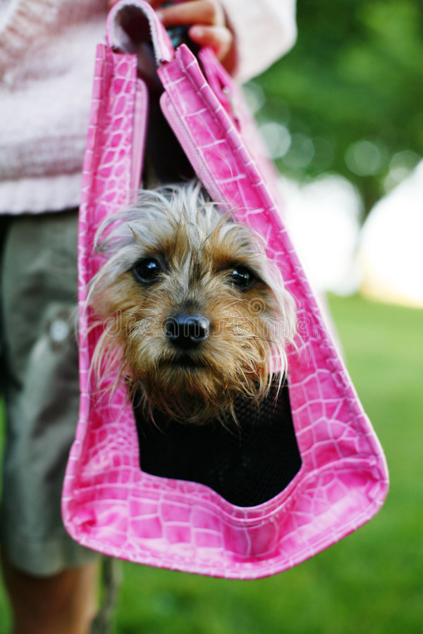 Diva Pup in a carrier. A photo of a yorkie dog in a pink pet purse/carrier royalty free stock image