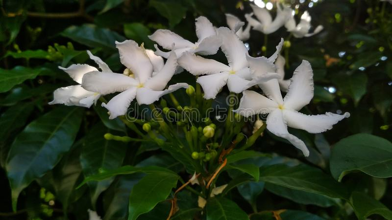 Divaricata de Tabernaemontana, pinwheelflower, jasmin de crêpe, la couronne des nero attrayants photo stock