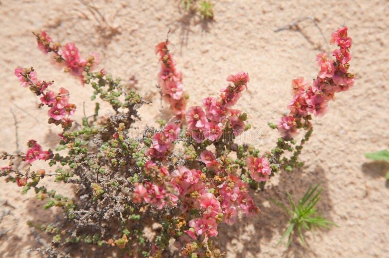 Divaricata floreciente del Salsola imagen de archivo
