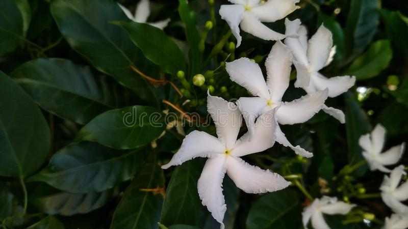 Divaricata Tabernaemontana, pinwheelflower, jasmine υφάσματος κρεπ, κορώνα του ελκυστικού nero στοκ εικόνα