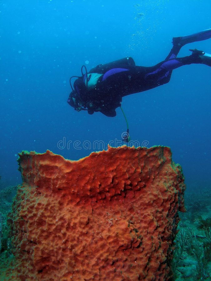 Diver and Barrel Coral royalty free stock image