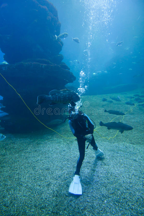 Diver with colorful exotic tropical fishes and sharks underwater in aquarium. stock image