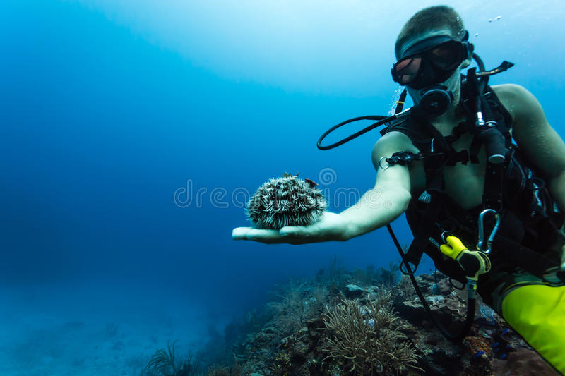 Diver displays sea urchin at coral reef royalty free stock images