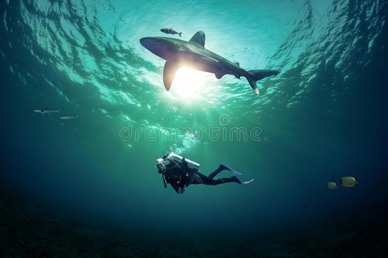 Diver dives with shark royalty free stock image