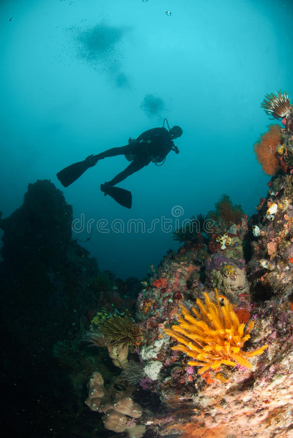 Diver, feather star, coral reef in Ambon, Maluku, Indonesia underwater photo stock images