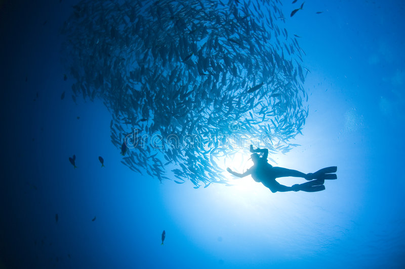 Diver And Fish Silhouette. Silhouette of a diver swimming underwater near a large group of fish. Shot from below diver upward royalty free stock photos