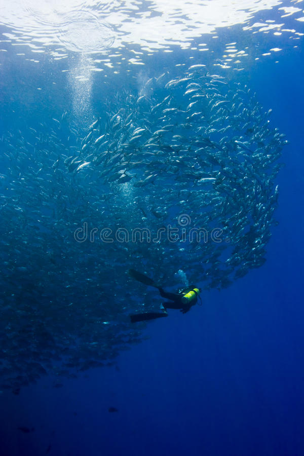 Free Diver In A Swirling Jack Shoal Stock Photos - 18477073