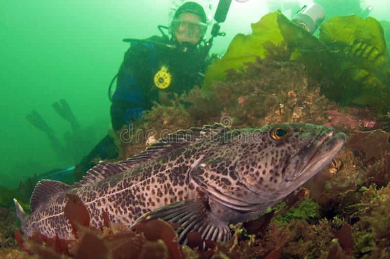 Diver With Ling Cod Royalty Free Stock Photos