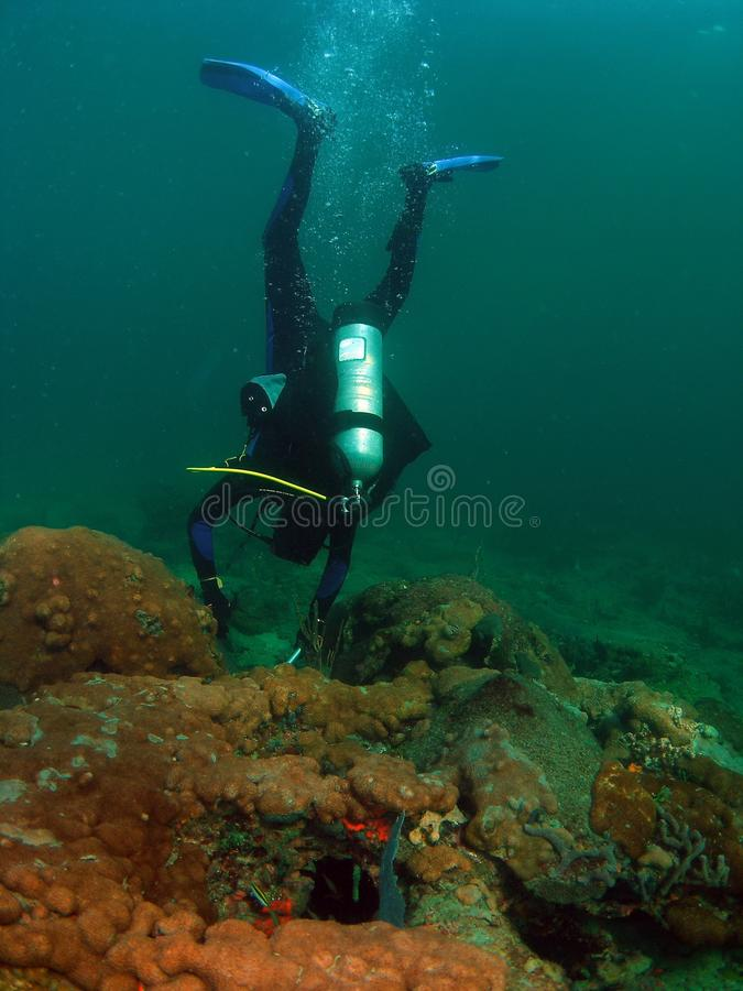 Diver Looking for Lobsters stock photo
