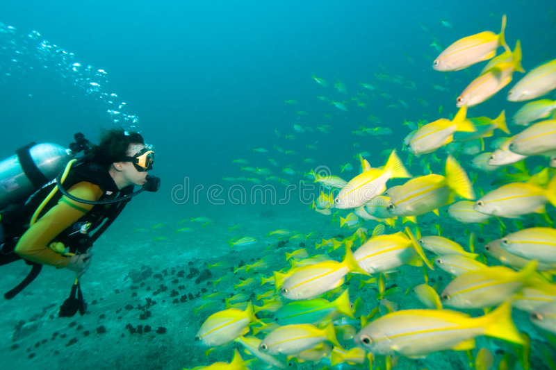 Diver meets fish. Diver swimming towards a school of yellow Snappers
