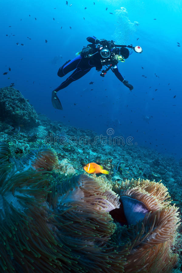Diver over anemone with maldivian clown, Maldives. Diver over sea anemones with their resident - Maldivian clown stock image