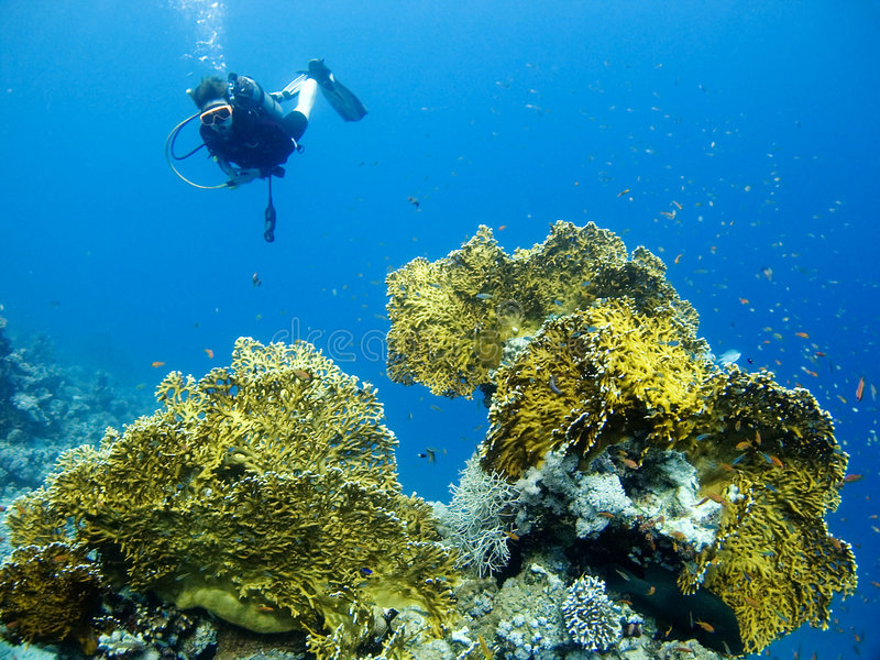 Diver over fire coral royalty free stock photography