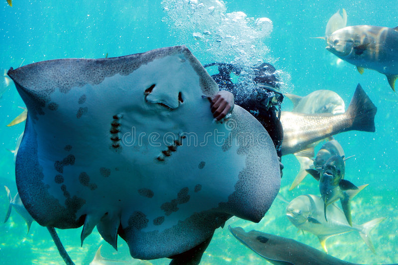 Diver and ray. A diver swimming with ray and fish stock photos