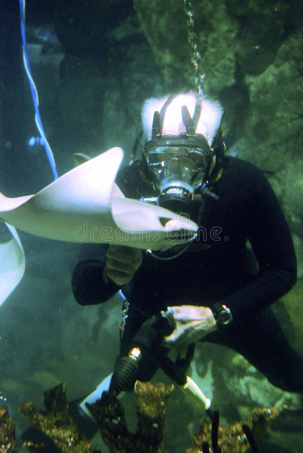 Diver and sting ray royalty free stock image