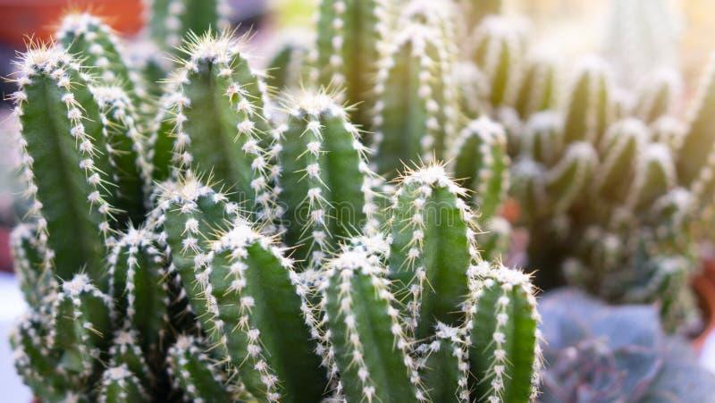Divers types de mini cactus, usine de zèbre photographie stock libre de droits
