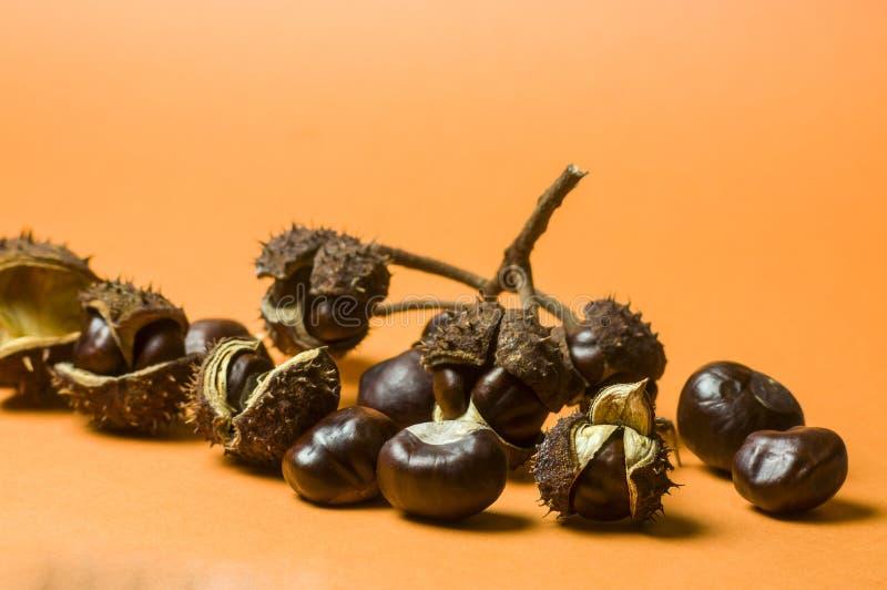 Diversas castanhas na casca de fruta da separação com espinhos e separadamente, em parte suspensão em uma parte do ramo e em uma  fotografia de stock
