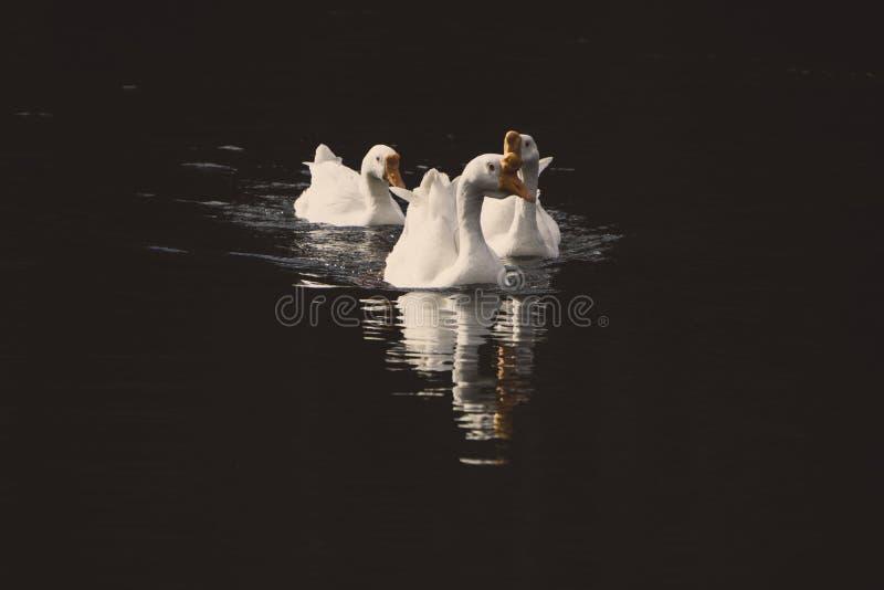 Diversas cisnes que nadam na água imagens de stock