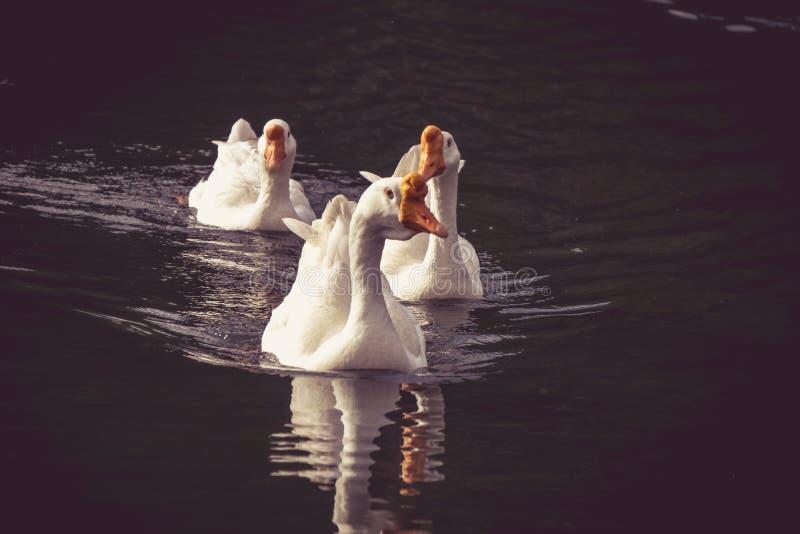 Diversas cisnes que nadam na água foto de stock royalty free