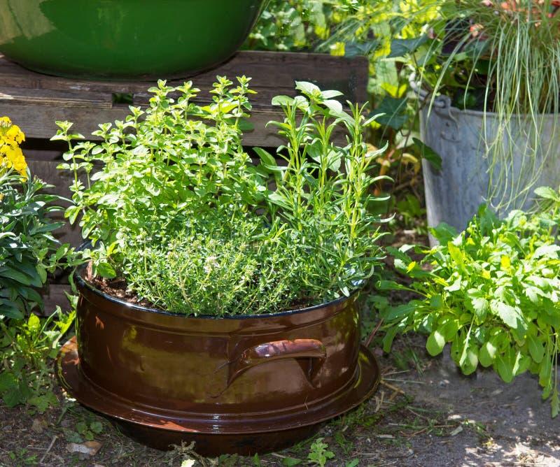 Diversas ervas gostam da manjericão e de outro em um potenciômetro decorativo velho fotografia de stock