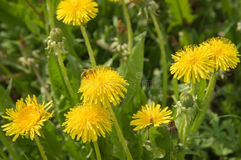 Diversas flores amarelas do dente-de-leão e em uma que uma abelha se senta e colle fotos de stock royalty free