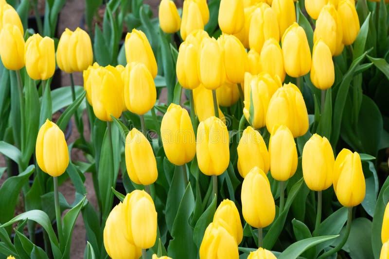 Diversas flores coloridas de los tulipanes que florecen en un jard?n foto de archivo